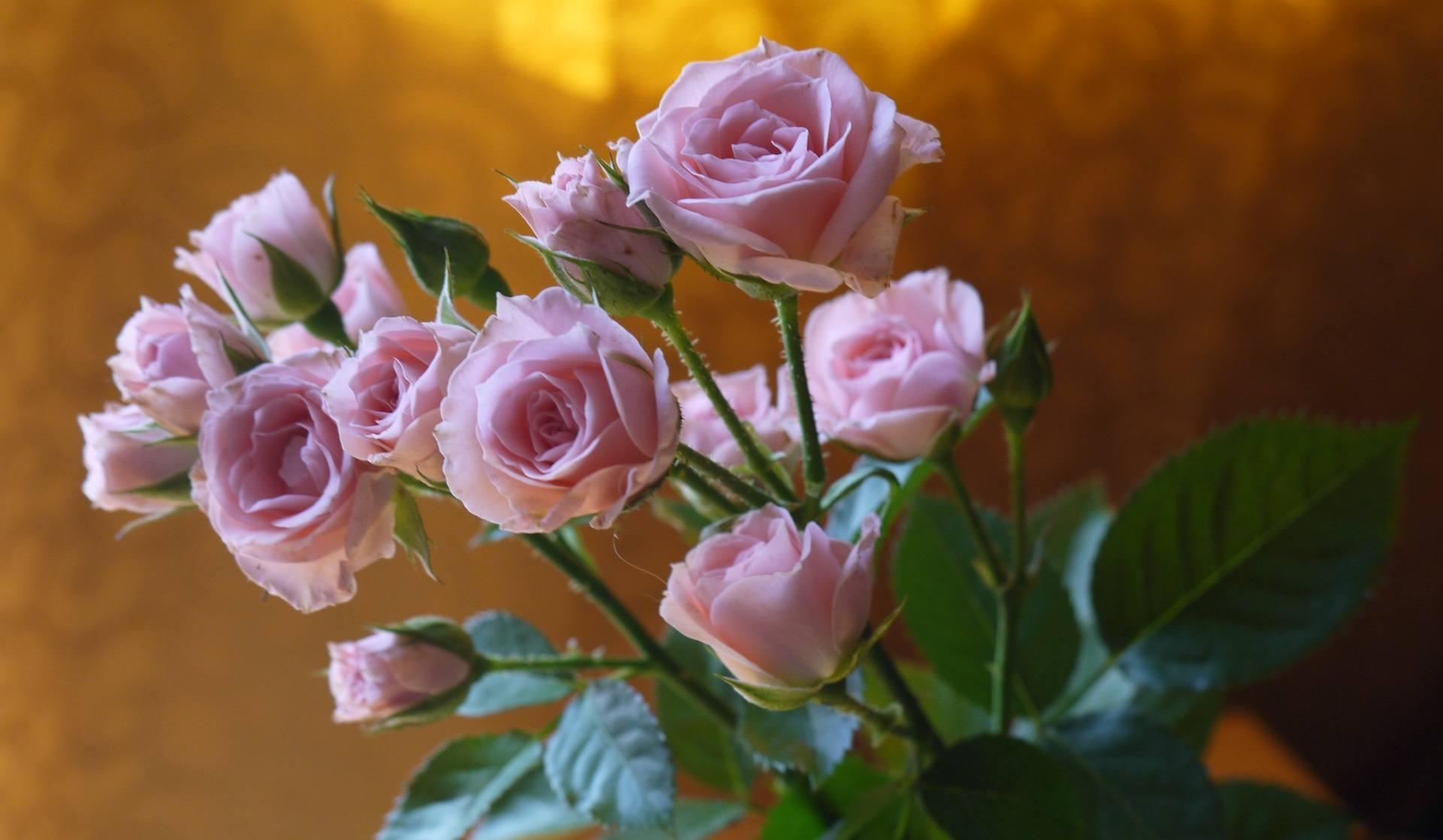 Róża jako element pielęgnacji urody